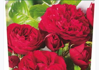 Róża angielska pachnąca