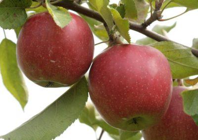 Jabłoń ligol